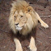 Lion close